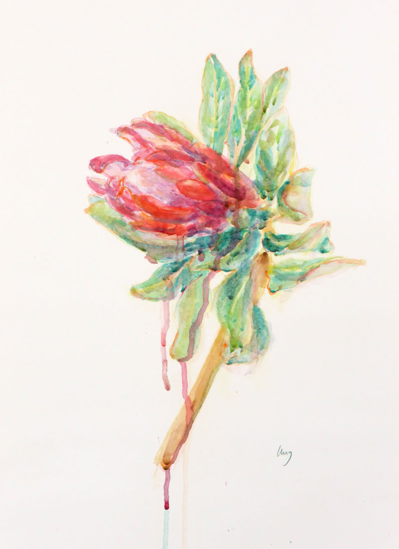 An Australian Protea watercolour painting by Melbourne artist Lucy Farmer