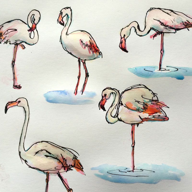 Watercolour and ink sketches of flamingos by Australian artist Lucy Farmer